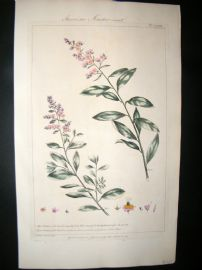 Miller 1760 Folio Hand Col Botanical Print. American Meadow Sweet